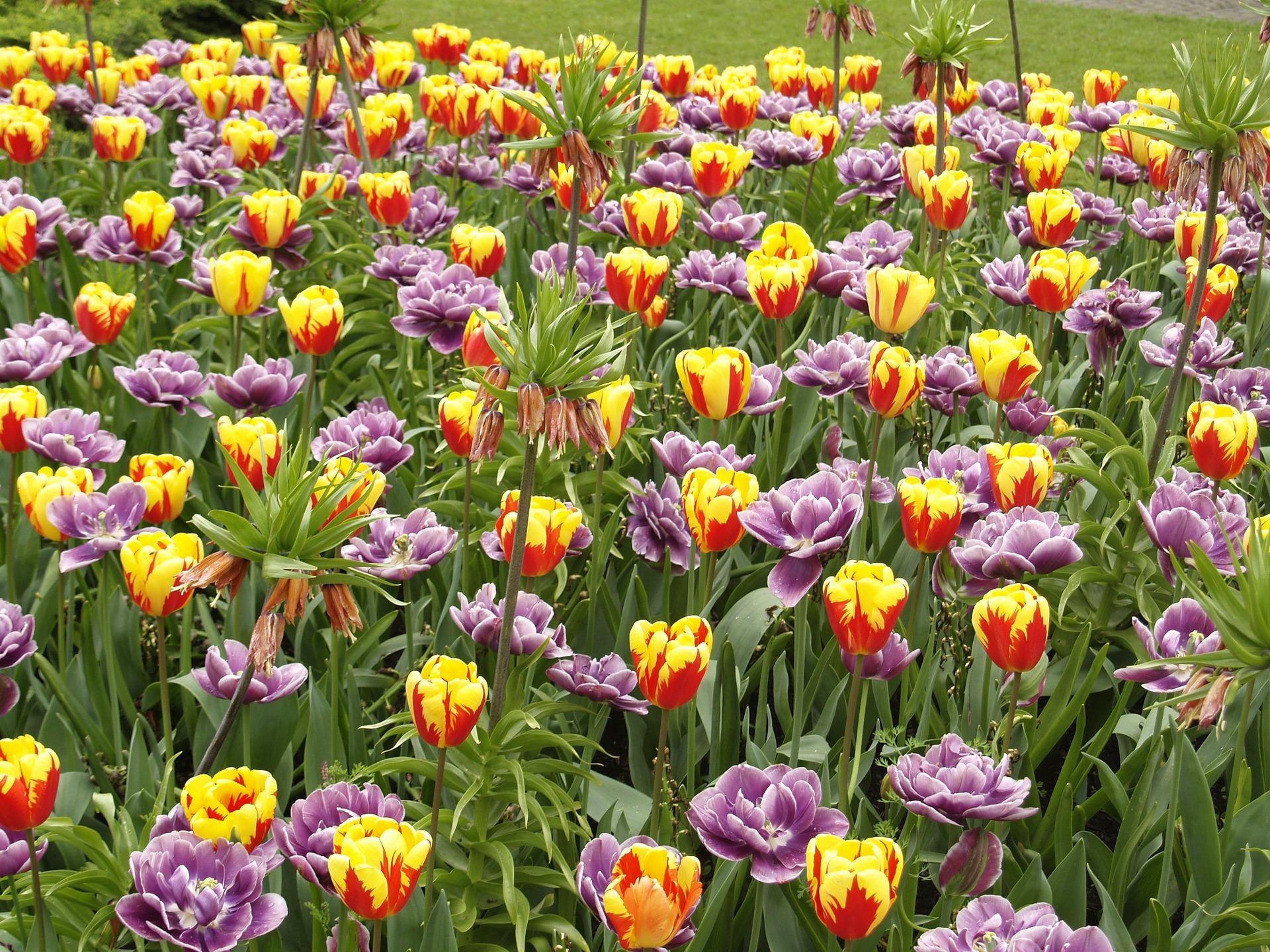 tulips-27771111920-1616406989.jpg